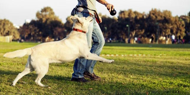 Labs have a lot of energy and are a good fit for people with an active lifestyle.