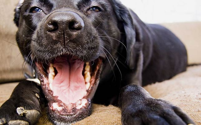 """Say, """"ah!"""" Diesel is practicing for his next dog dental cleaning."""