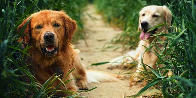 Ticks hazards in grass for these two lounging dogs