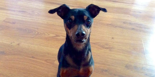 This Miniature Pinscher got chocolate poisoning from eating a bag of chocolates.