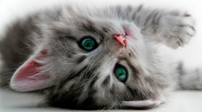 Adeline, a gray kitten, has received all of her kitten vaccinations.