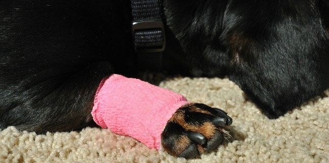 A bandaged dog paw injury