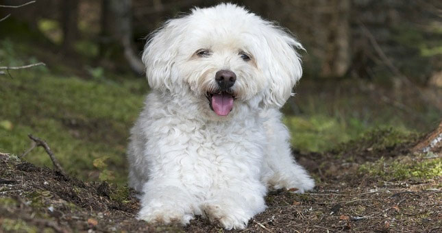 A small white Cockapoo dog pants as it takes a rest from a hike.