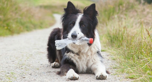 Border Collies, like Benny, are at risk for foxtails in their ears if they play in unkempt fields or grass.