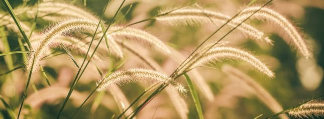 Photo of foxtails