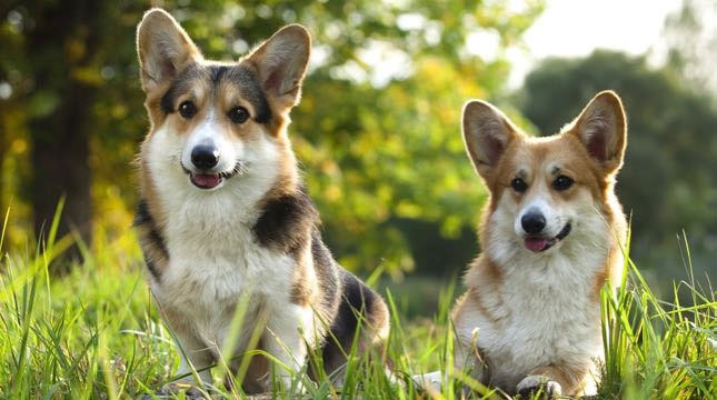 These two Corgis like to play in the grass.