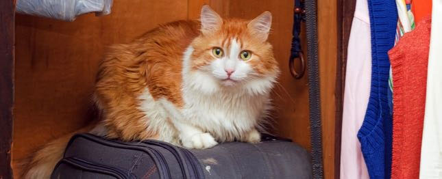 Toby, the cat, sits on a suitcase. Toby needs a travel health certificate because he'll be traveling by plane.