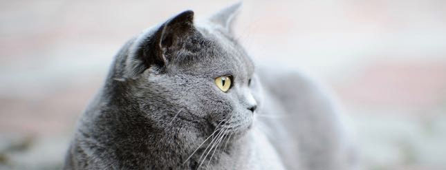 Smokey relaxes at home after coming in for a cat laser treatment session.
