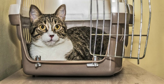 Tabby cat inside a cat carrier box - ready for moving to Castle Rock!