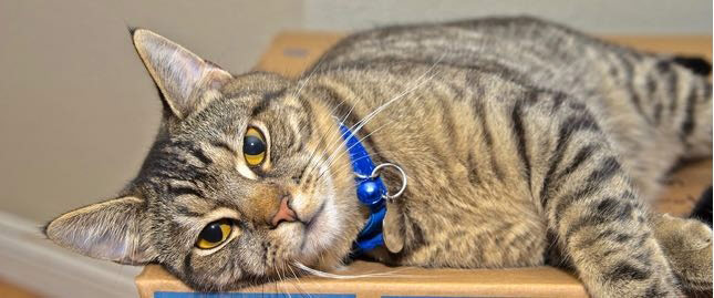 A gray tabby cat relaxes on a moving box.