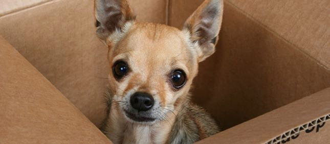 A tiny chihuahua sits in a moving box.
