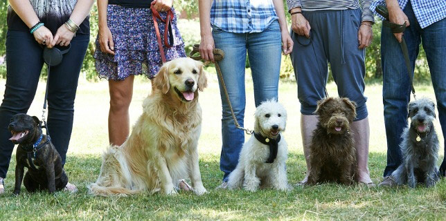Dogs around other dogs -- like at dog obedience -- are vulnerable to dog flu.