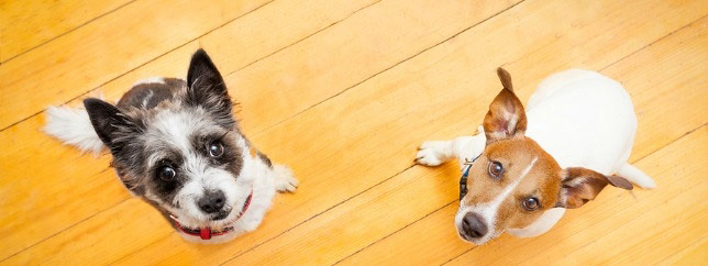 """Two dogs look at the camera after hearing """"dog flu shot."""""""