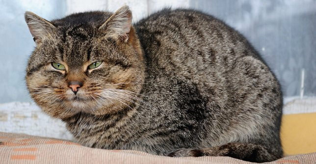 Overweight dogs and cats (like this cat) are at risk for dog and cat arthritis.