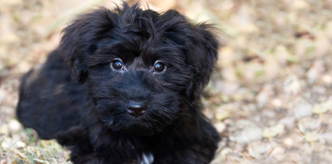 This fluffy black puppy gives his humans big puppy eyes before heading to the veterinarian.
