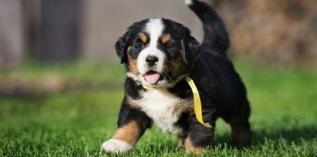 This adorable Bernese Mountain puppy runs across the grass before heading to the vet for puppy shots.