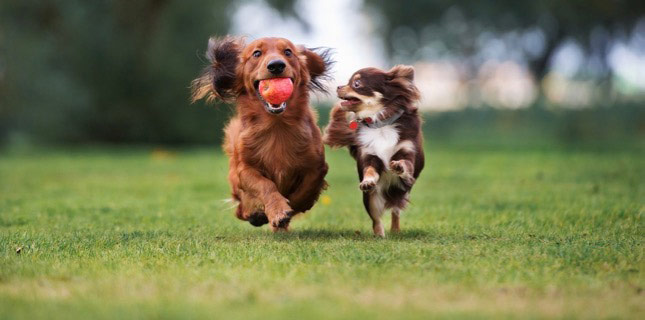 Cinnamon and Tatertot, two small and active dogs, run across the field.