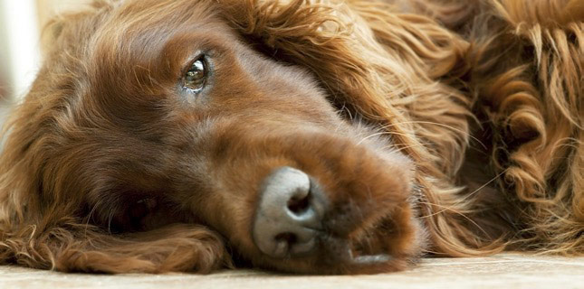 Ginger, the Irish Setter, has had a recurring ear infection in her ears.