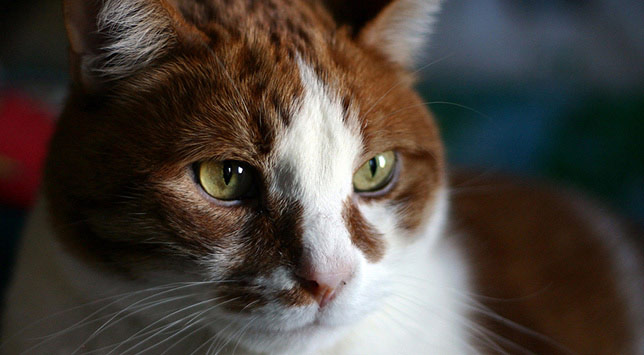 Our veterinarians often see feline hyperthyroidism in older cats, such as in this cat, Marmalade.