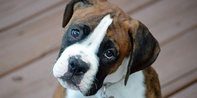 Joey, the Boxer dog, tilts his head at the camera with puppy eyes.