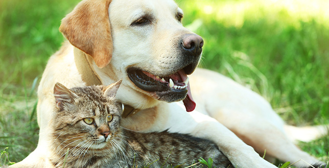 Senior pets with arthritis, like Buddy the dog and Emma the cat, may get pain relief from laser therapy.