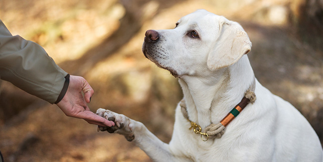 A labrador retriever dog shares his paw with a woman.