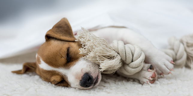 Jack Russel puppy rests a day after spay surgery.