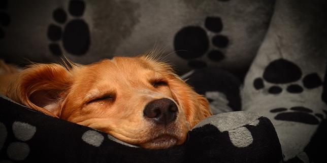A sick dog sleeps in a dog bed.