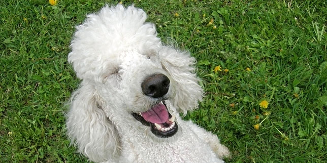 A standard poodle laughs and shows her teeth.