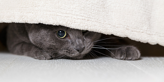 Lewis, a former shelter cat, hides under the bed.