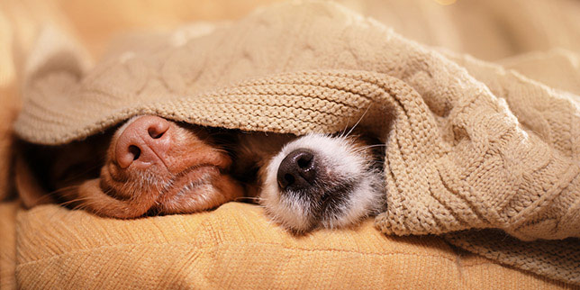 Two dogs sleep under a sweater after having dog teeth extractions.
