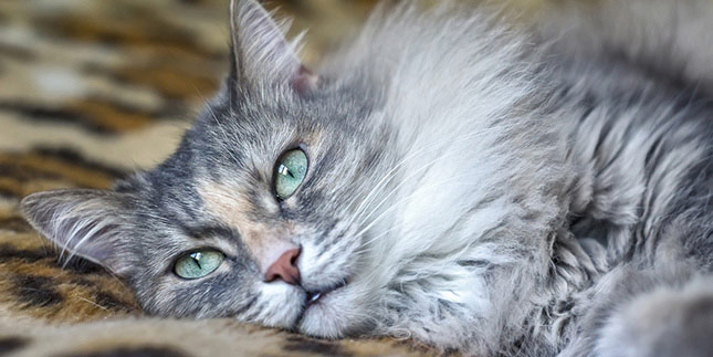 Jade, the cat, relaxes and gazes off camera. She's starting to feel better after a few days of having the runs.