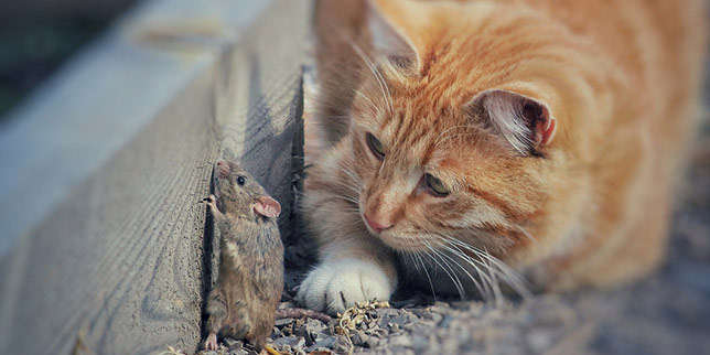 Cinnamon, the cat, carefully watches a mouse. Cats that eat mice can get intestinal parasites.