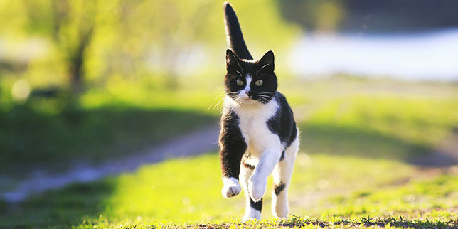 Adult cat runs across the yard, hunting a field mouse.