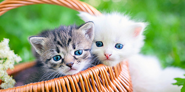Two kittens sit in a basket before coming into the vet for their deworming treatment to get rid of intestinal parasites.