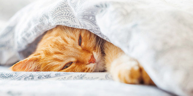 Simone, a ginger cat, cuddles under blankets. She hasn't been as active jumping on her favorite spots lately -- a sign of cat arthritis.