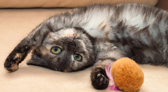 A cute cat pauses from playing. Staying active is a good way to slow down arthritis in cats.