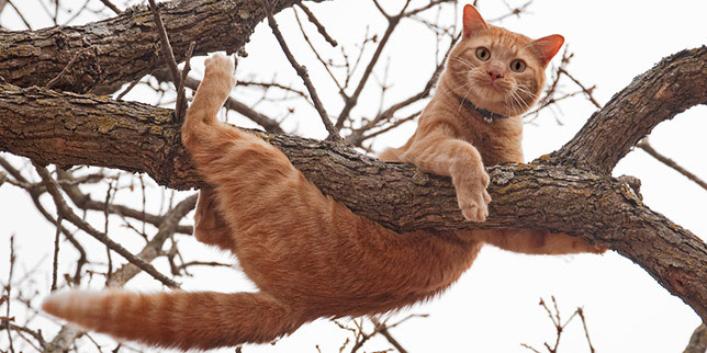 Felix, the tabby cat, is known for his acrobatics, like hanging from trees. But he's also at higher risk for cat arthritis.