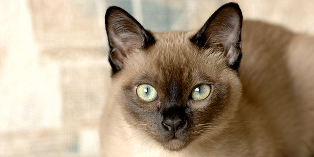 Jax, a Tonkinese cat, has responded well to his cat lymphoma treatments.