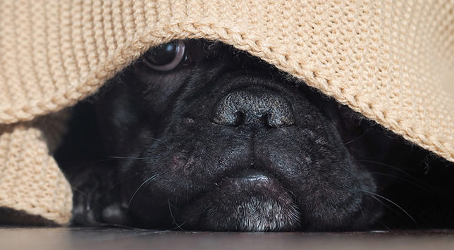 Rudy, a black pug, is scared of thunderstorms.