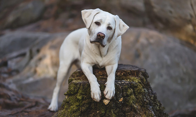 Josie, the lab, has injured her paw while hiking in Colorado.