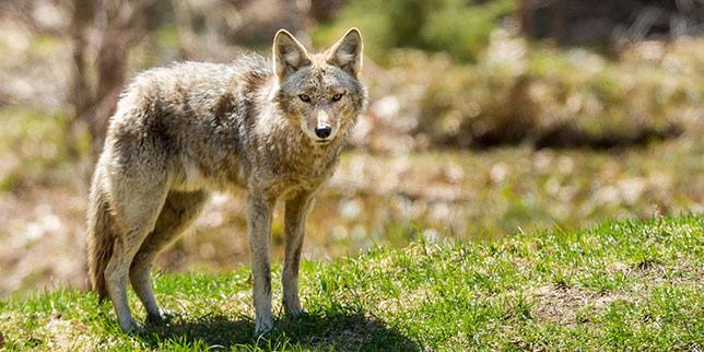 A coyote stands near a Colorado hiking trail.