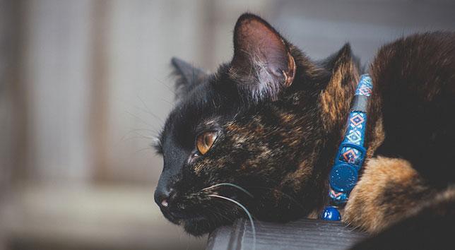 The outdoor cat, Caramel, wears a blue collar.