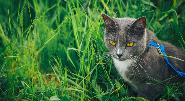 Keep your cat safe outdoors with supervision and a harness.