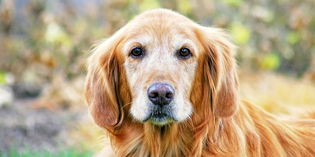Sadie, the golden retriever, was rescued when she was an older dog.