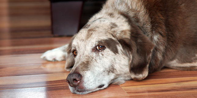 Gus, an older dog, rests on the floor. He has had an abscess on his bottom.