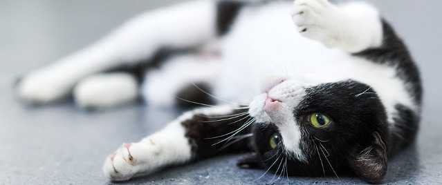 Bandit, a diabetic cat, happily rolls on the ground. He has been able to lead a normal life since getting on a consistent feeding, insulin and glucose check schedule.