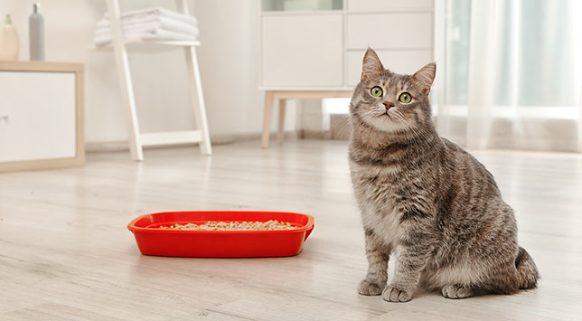 A beautiful cat sits next to a red litter box. This cat has been peeing blood lately.