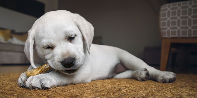 This puppy is at risk for a broken tooth by chewing on hard bones.