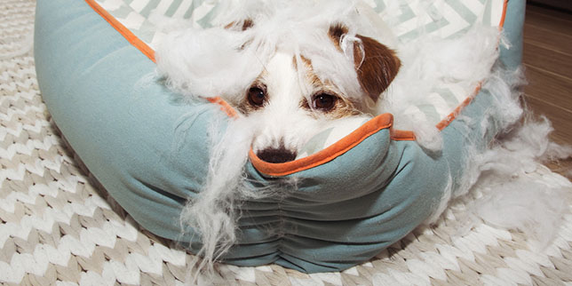 A small dog has shredded his bed. His owner isn't sure if the dog ate the stuffing.